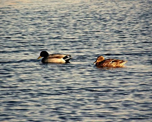 A mallard (left) accompanied by what looks like a female pintail duck.