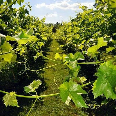 A view in the vines