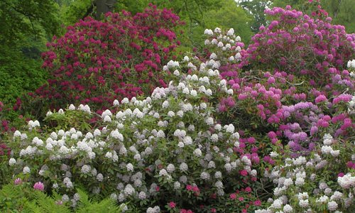 Rhododendrons in June