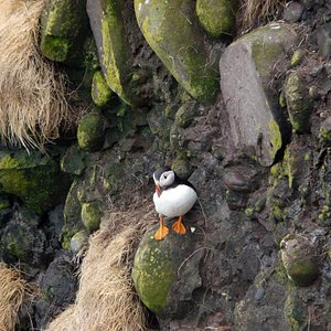 Puffin at Fowlsheugh