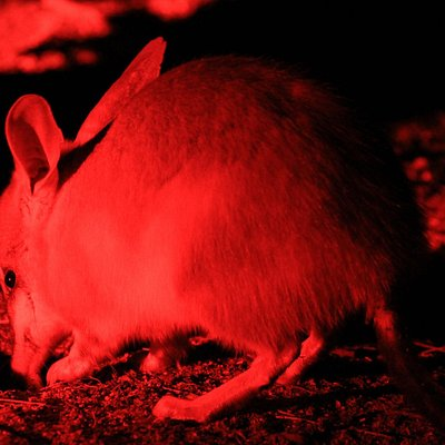 Behold the bilby
