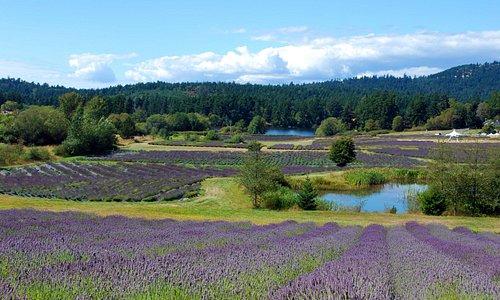 Pelindaba Lavender Farm in bloom