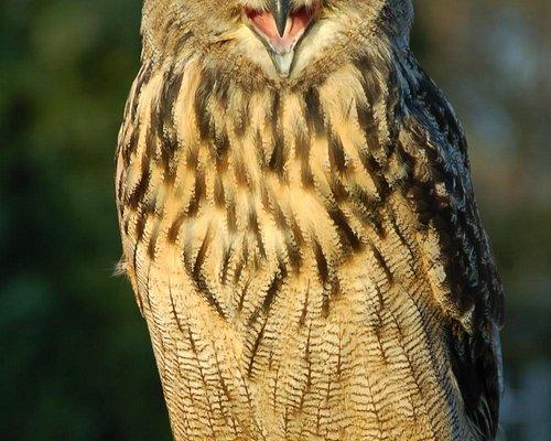 Rolo european eagle owl