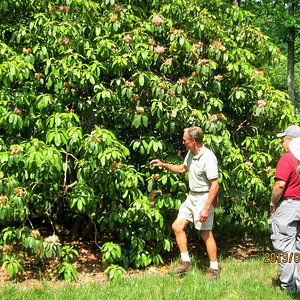 Jerry O'Dell,Rhododendron gardner showing one of the larger ones he tends.