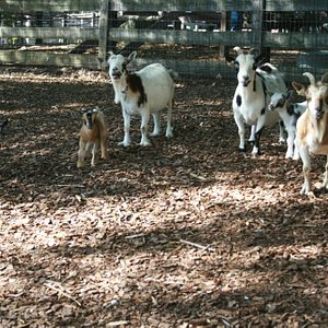 June 2013 New Baby Goats with Mamas