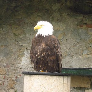 Eagle when stationary