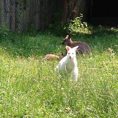 albino kænguru