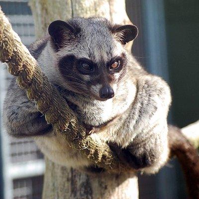 Civet