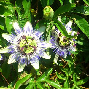 Passion Flowers on the patio area.