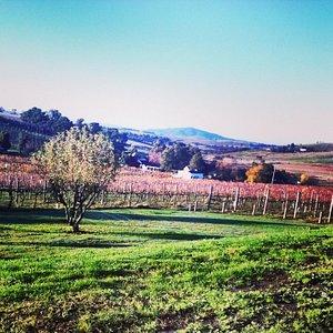 Corniola wine vinyard