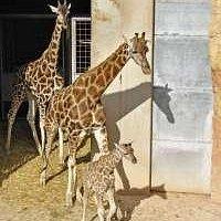 girafas del bioparc
