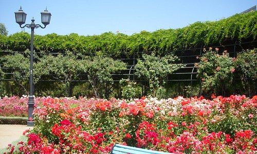 Las rosas en todo su esplendor