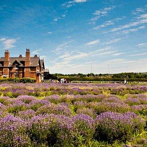 The lavender fields & farmhouse cafe