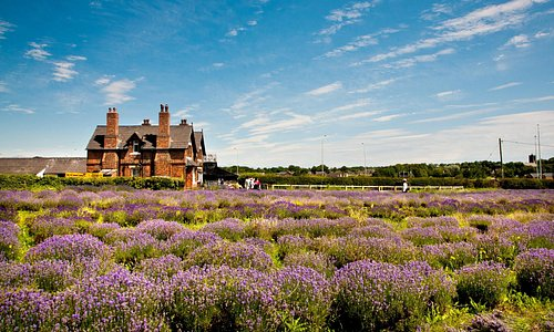 The lavender fields & farmhouse cafe