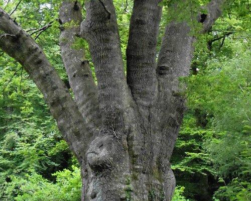 Pollarding can be understood, seeing  Knightwood Oak Tree