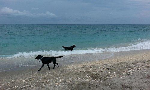 Happy dogs at Jupiter beach