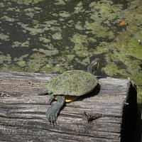 The one slimy turtle in the pond