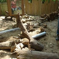 Le nourrisage des suricates