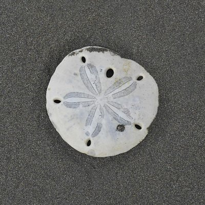 THE LATIN SAND DOLLAR