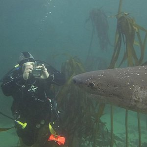 Spotted 7-Gills Cow Shark with Diver