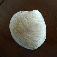 shell of mollusk from Ice Age