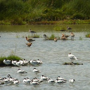 Good selection of wadering birds