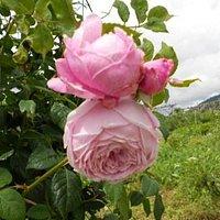 Ronzone: giardino della rosa