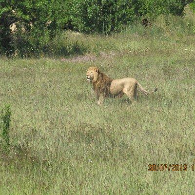 Лев в парке