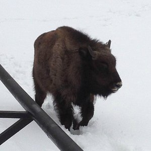 European low land bison - young calf