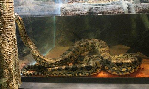 See a 13 foot anaconda