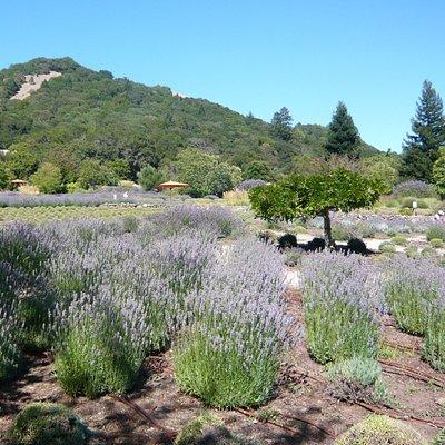 Lavender in July