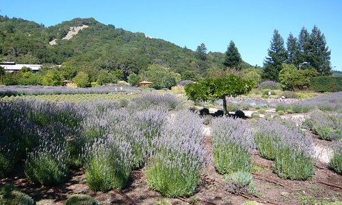 Lavender in July