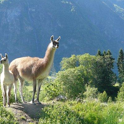 skjolden llamas farm visit