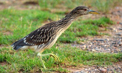 Juvenile Black Crowned Night Heron...also adults present