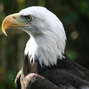 Bald Eagle at NWRA