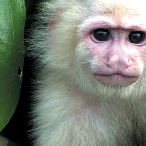 White faced capuchin monkey at the Jungle tour