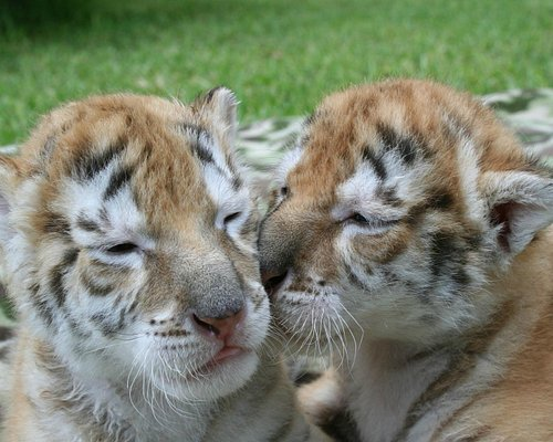 Amolika & Nripendra (Tabby Bengal Tiger Cubs)