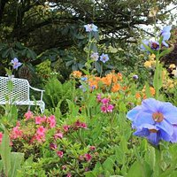 The garden has a wonderful collection of perennials including the lovely mecanoposis/ blue poppi