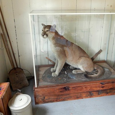 Mountain Lion/Puma/Couger - taxidermy