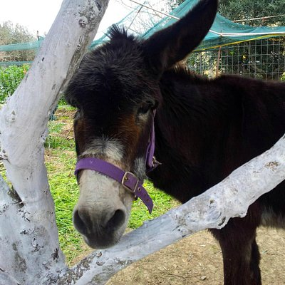 Haritomeni..one of our elderly rescue donkeys