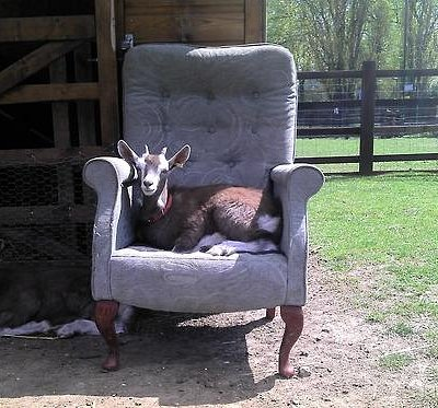 Lazy goat. Picture by our Creative Director Terry Alan Jones