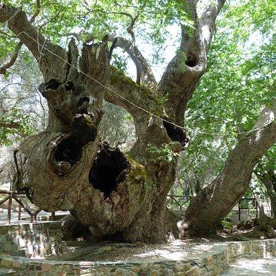 Plane Tree at Vlatos-2
