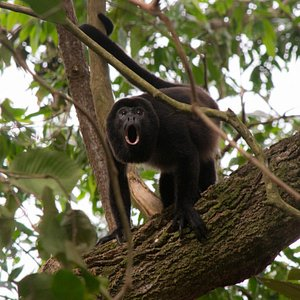 Coiba howler while hiking with Fluid adventures