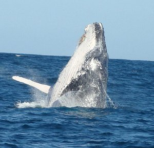 HUMPBACK whales gauranteed between the 1st of June and 1st of Dec annually - if no whale sighted