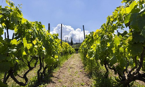 Our vineyard in Frascati just a short train ride from Rome.