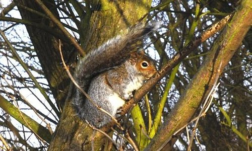 Grey squirrel with a hint of red, Priory Country Park