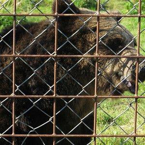 Bear at Predator Center