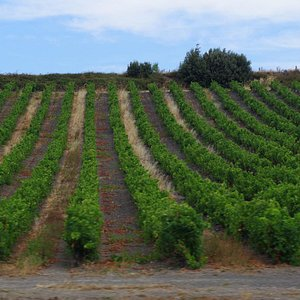 Vinyards by the track