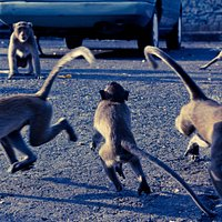 Some of the sam muk monkeys acting the fool.