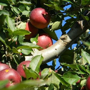 Justus Orchard apples on the tree